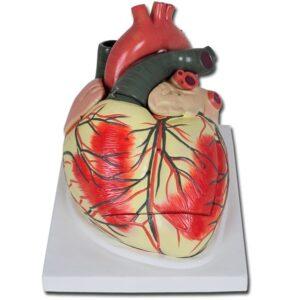 Anatomisk modell Hjärta - 3 delar