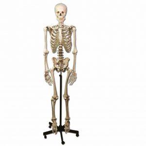 Skelett - Anatomisk modell