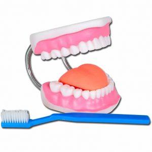Tandmodell med tandborste 3X